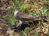 Sparrowhawk With Crow Prey Solway 270308 Jjc 600 